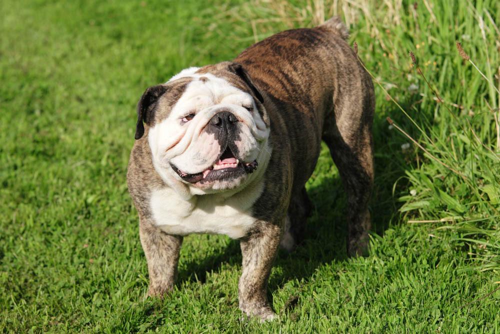 Bull Dog Anglais
