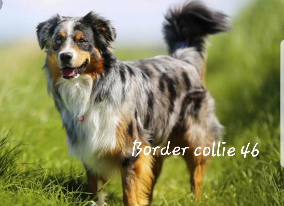 Border Collie 46