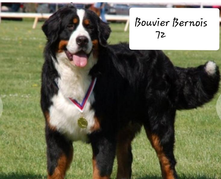 Bouvier Bernois 72